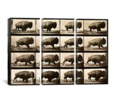 iCanvasART Buffalo Running, US MadeAnimal Locomotion Plate 700 Canvas Print, US Made